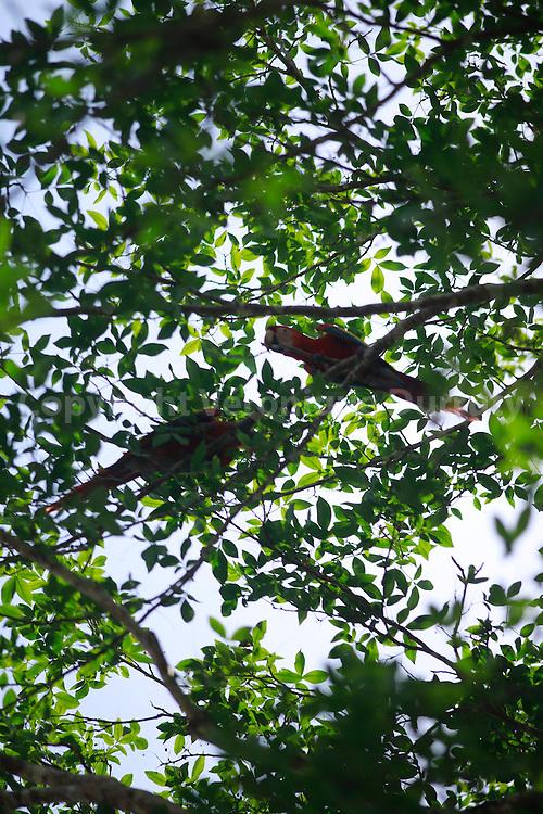 red macaws, Guaymi native reserve, Osa Peninsula, Costa Rica // aras  rouges, Reserve indigene Guaymi, Peninsule de Osa, Costa Rica