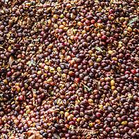 Raw Kona coffee beans drying in bin on farm in Big Island Hawaii.