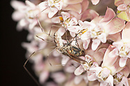 Eastern Daddy longlegs (Leiobunum spp), spider feeding on a fly trapped on the  pollinia of milkweed flowers (Asclepias syriaca).