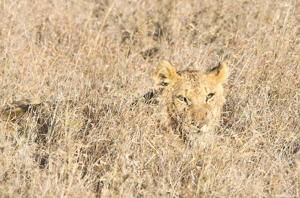 A young cub, practicing his stalking skills.