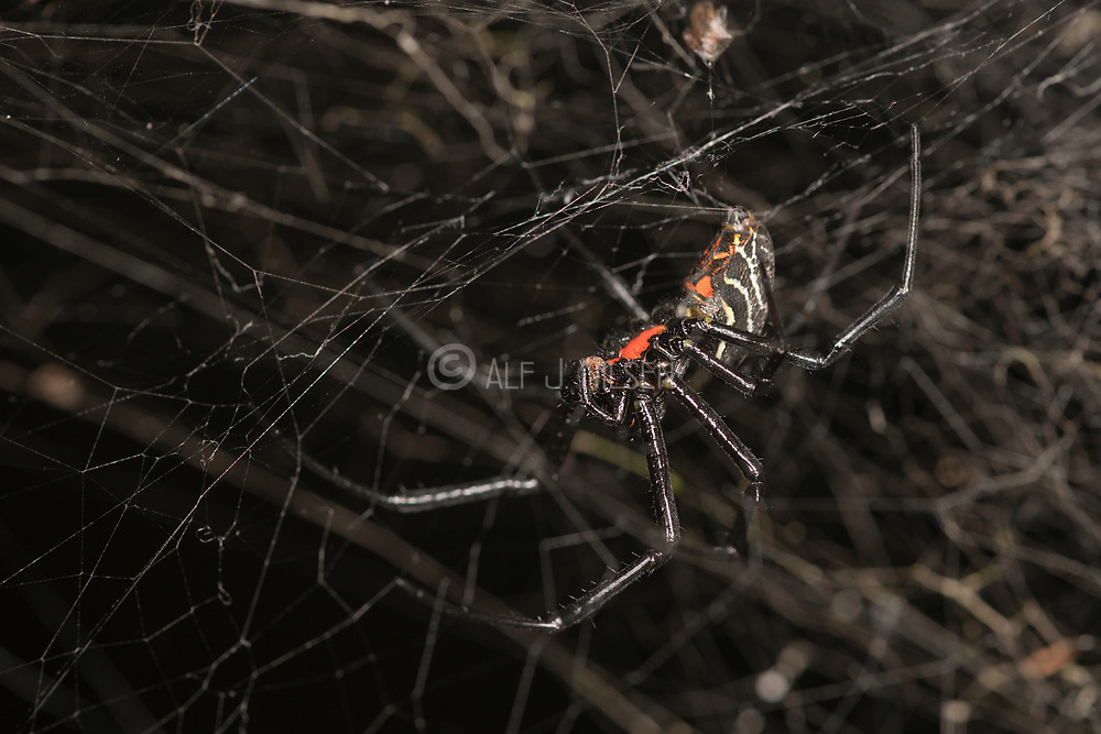 Unknown spider from Tanjung Puting National Park, Kalimantan, Borneo.