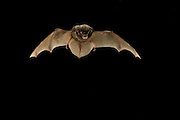 A silver-haired bat (Lasionycteris noctivagans) that was rescued as a pup, raised to adulthood, and is now ready for release into the wild. Flying at night in Central Washington.