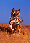 Portrait of a bengal tiger, panthera tigris tigris, property released