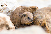 Rock Hyrax, (Procavia capensis) Photographed in Israel