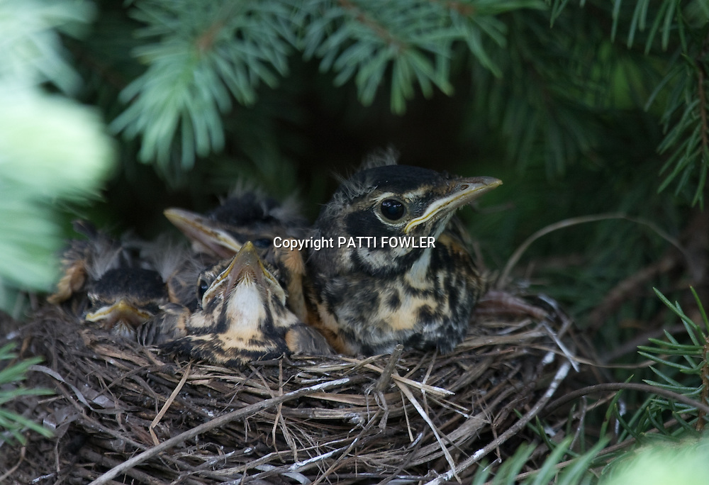 Robin juveniles in Blue Spruce tree nest