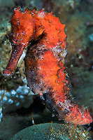 Thorny Seahorse profile<br /> <br /> Shot in Indonesia