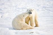 01874-110.11 Polar Bears (Ursus maritimus) near Hudson Bay, Churchill  MB, Canada