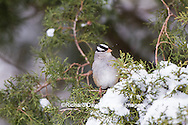 01600-01604 White-crowned Sparrow (Zonotrichia leucophrys) in Juniper tree (Juniperus keteleeri) in winter Marion Co. I