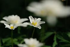 Double windflower, dubbele bosanemoon