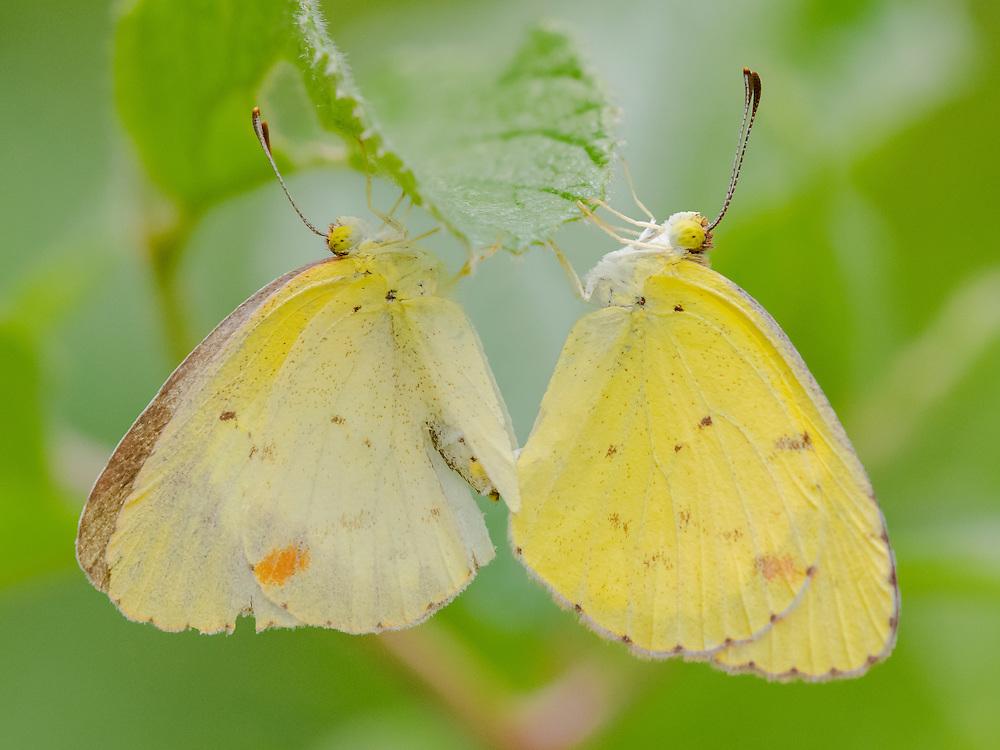Little Sulphur Butterfly, Pyrisitia lisa;<br /> Photographer:  Cissy Beasley <br /> Property:  Twin Oaks Ranch / Lon Cartwright Family<br /> Live Oak County