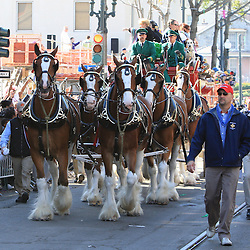 24 February 2009: The Budwiser Clydesdales make their way through St. Charles Avenue prior to the Zulu and Rex parades on Mardi Gras day in New Orleans, Louisiana. Mardi Gras is an annual celebration that ends at midnight with the start of the Catholic Lenten season which begins with Ash Wednesday and ends with Easter..