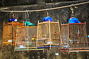 28 OCTOBER 2012 - SUNGAI KOLOK, NARATHIWAT, THAILAND:   Songbirds in cages hanging from a pole in Sungai Kolok. Songbird collecting is a popular past time in southern Thailand among both Buddhists and Muslims.  PHOTO BY JACK KURTZ