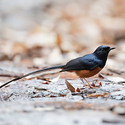 Male white-rumped shama. The white-rumped shama (Copsychus malabaricus) is a small passerine bird of the family Muscicapidae.