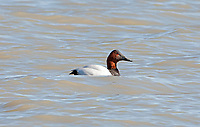 A Canvasback is a diving duck and spends most of its time in the open deep water ponds as you can see this one has been feeding on roots and aquatic plants on the bottom of the pond.