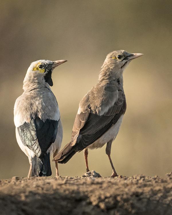 Creatophora cinerea, pair, Botswana