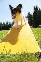 A Papillion show dog practices agility