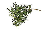 Irish Yew - Taxus baccata 'Fastigiata' (Height to 25m) Differs from Common Yew in having a more columnar, upright form with ascending branches. Leaves, flowers and fruits are almost identical to those of Common Yew. Present-day plants of this variant are survivors of one of a pair of trees found in County Fermanagh, Ireland, in the mid-eighteenth century.