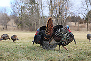 Eastern wild turkeys displaying and strutting during spring mating season.