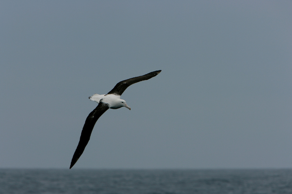 Jan. 29, 2007. Southern Ocean. A Wandering Albatross (Diomedea exulans), seen here flying across the Southern Ocean, has a wingspan of up to 115 inches.