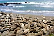 Piedras Blancas Elephant Seal Rookery<br /> San Simeon, CA