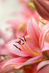 Lily flowers are valued for their large, very showy, often fragrant flowers.