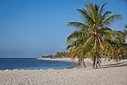 Coconut Palms along Smathers Beach Key West, Florida