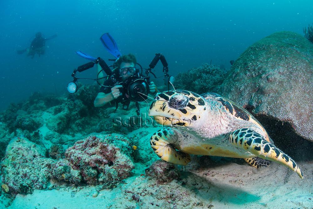 Photographer snapping a Hawksbill Turtle, Eretmochelys imbricata, Mabul, Sabah, Malaysia, Borneo, Celebes Sea,