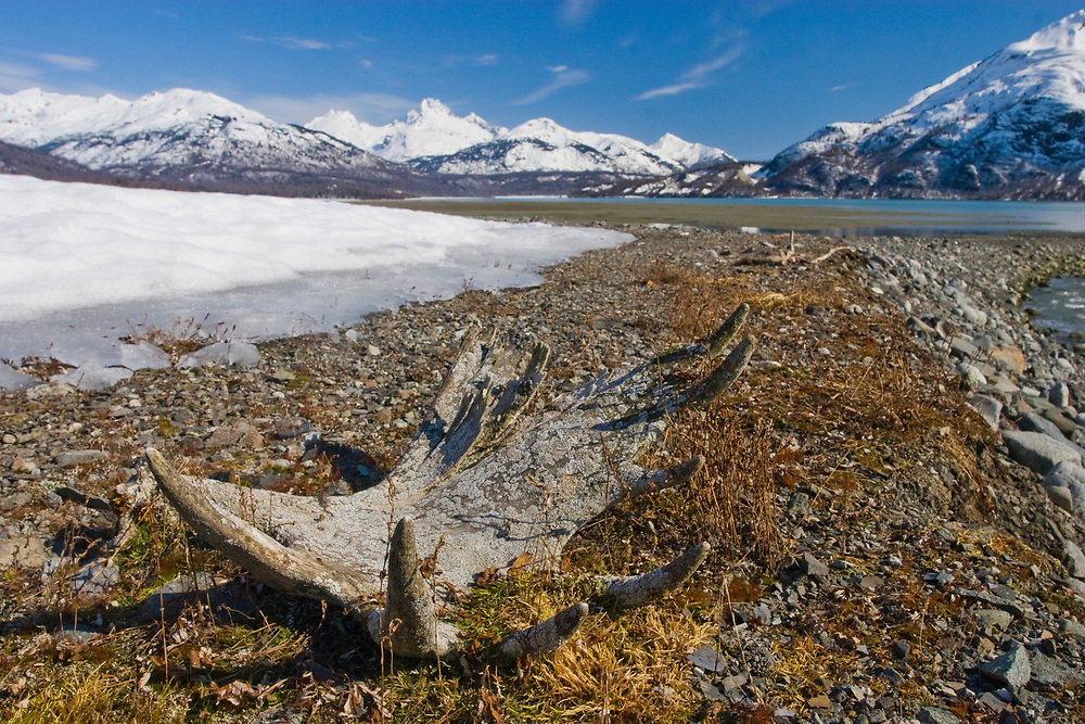 An old moose antler, covered in colorful lichens on a snowy beach in Adams Inlet, Glacier Bay National Park.