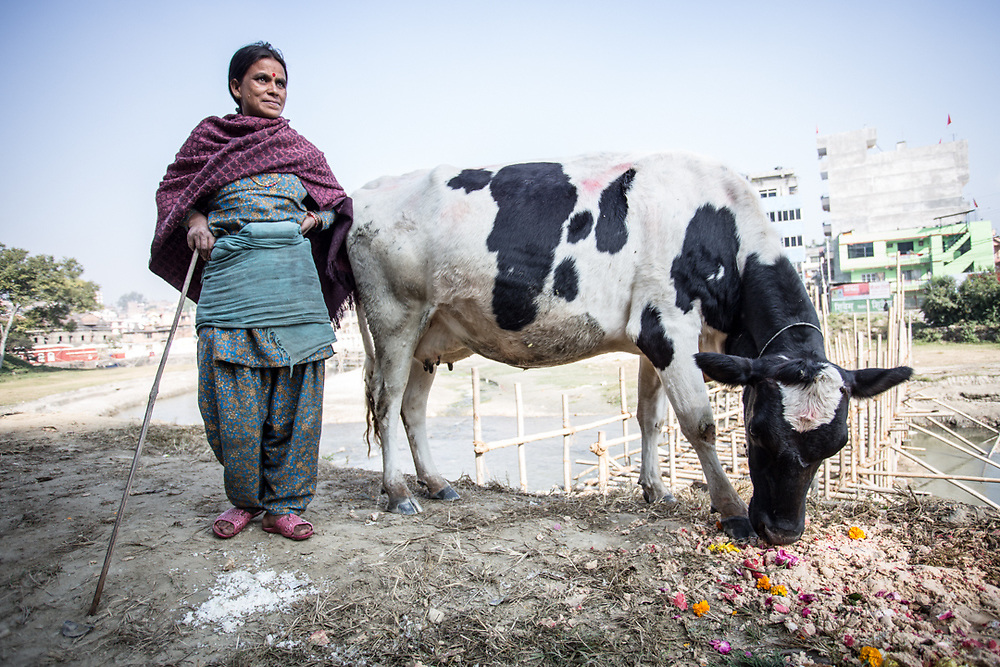 Nepali woman with the family cow in Pokhara, Nepal.