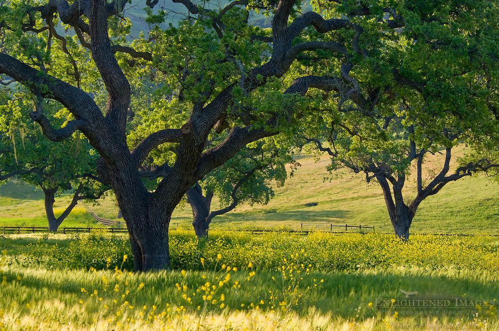 Oak trees in spring if field below the Santa Ynez Mountains, near Santa Ynez, California