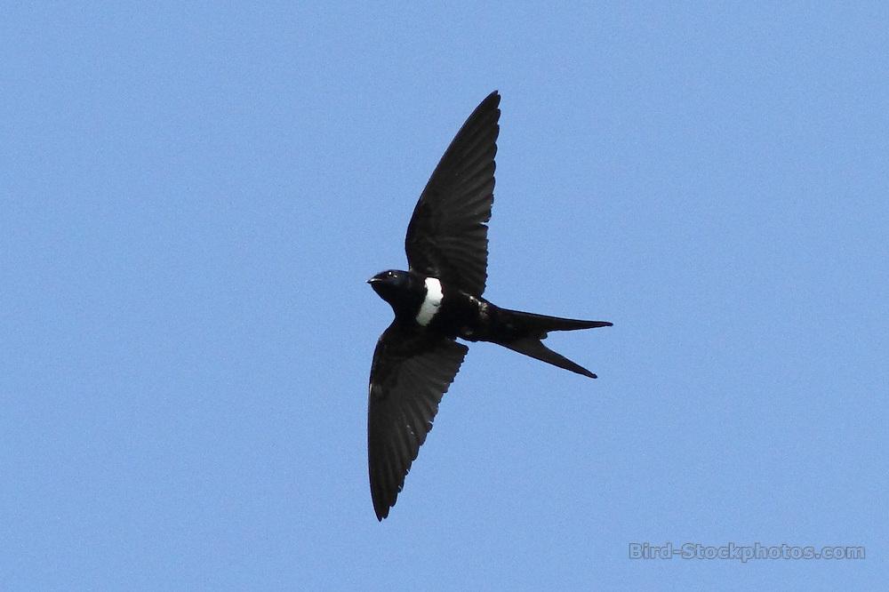 White-banded Swallow, Atticora fasciata, in flight, Brazil, by Markus Lilje