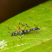 Tipulidae (crane flies) mating. A crane fly is a member of the family of insects in the order Diptera, the true flies. The true crane flies are most often classified entirely within the family Tipulidae