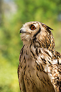Indian eagle owl (Bubo bengalensis) portrait, captive, from India