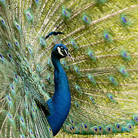 EN&gt; A male peackock displaying |<br />