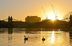 © Licensed to London News Pictures. 26/02/2014. London, UK. Canada geese feed in the low waters of the Thames with Hammersmith Bridge in the background.  Sunrise over the River Thames at Hammersmith in West London today 26th February 2014. Photo credit : Stephen Simpson/LNP