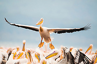Great White Pelican Landing, Lake Nakuru National Park, South Africa