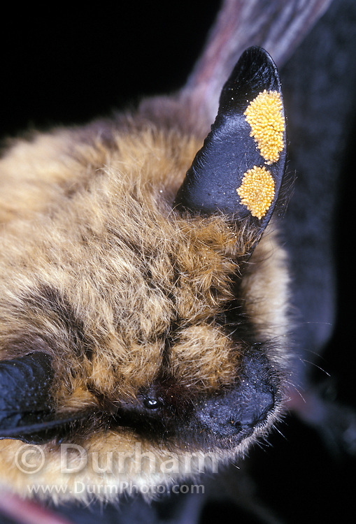 A western long-eared myotis (Myotis evotis) with an ear mite infestation. Dechuutes National Forest, Oregon.