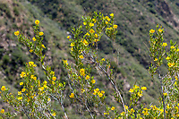 Dendromecon rigida (Bush poppy) at Grizzly Flat, Angeles NF, Los Angeles Co, CA, USA, on 22-Apr-17