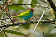 Bay-headed Tanager (Tangara gyrola)<br /> Mindo<br /> Cloud Forest<br /> West slope of Andes<br /> ECUADOR.  South America<br /> HABITAT & RANGE: Canopy and borders of humid forest, secondary woodland and clearings from lowlands up into subtropics on both slopes of the Andes.