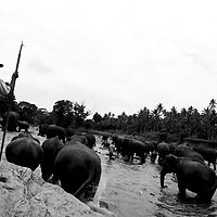 "PINNAWELA, OCTOBER-3 : mahouts wade their elephants in the Ma Oya river in Pinnawala, October 3, 2005, Sri Lanka. The 35 mahouts of the Pinnawala orphanage are in charge of 75 elephants which is a heavy task. it takes about 6 months training to learn the ""elephant language"" and years of expirience too become a good elephant keeper. Mahouts are well paid and therefore there's no shortage of applicants .PINNAWELA, OCTOBER-3 : an elephant greets a visitor   in Pinnawela, October 3, 2005, Sri Lanka.   .The Pinnawela orphanage was started in 1975 and initially designed to afford care and protection to the many baby elephants found in the jungle without their mothers. In most cases the mother either had died or been killed. .Animals are allowed to roam freely duringthe day and a herd structure allows to form. there are only a few elephant orphanges worldwide. At Pinnawela an attempt was made to simulate, in a limited way, the conditions in the wild. Currently the herd consists of 75 elephants under the surveillance of legendary  Mahout chief Sumanabanda."