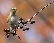 Image of a goldfinch