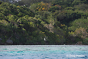 white tern flying over Hunga Lagoon, near Ika Lahi Lodge, Hunga Island, Vava'u, Kingdom of Tonga, South Pacific