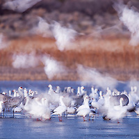 USA, New Mexico, Bosque del Apache National Wildlife Refuge, Blurred image of of Snow Geese (Chenhyperborea hyperborea) and Sand Hill Cranes (Grus canadensis) on frozen lake in Rio Grande Valley before dawn