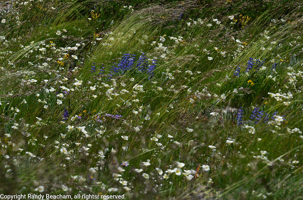 Field of wildflowers and grasses blowing in the wind on Grizzly Peak. Grizzly Peak Roadless Area in the Kootenai National Forest. Purcell Mountains, northwest Montana.