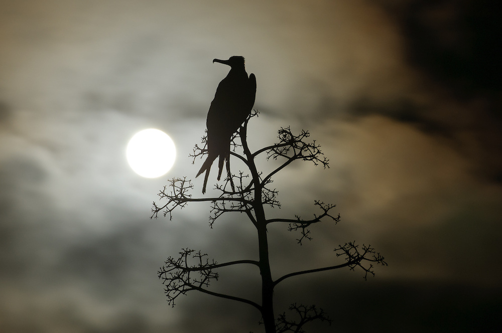 Magnificent frigatebird at night with the moon behind. Maria Cleofas Island at Tres Marias Archipelago.ESP - Fragata magnífica