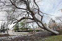 2011 Pasadena Wind Storm Damage - Fallen Tree on Power Line, Hill Avenue, Pasadena, California