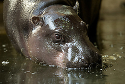 © Licensed to London News Pictures. <br /> **EMBARGOED UNTIL 00.01am FRIDAY 16 SEPTEMBER, 2016** 14/09/2016. Bristol, UK. Bristol Zoo. A baby pygmy hippopotamus was born 3 weeks ago at Bristol zoo. The baby has yet to be named, and was born to mother Sirana. It is genetically important as few male calf hippos are born in captivity and there are only about 2000 pygmy hippos left in the wild in West Africa. Photo credit : Simon Chapman/LNP