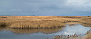 Reed beds at Cley Next The Sea marshes, Norfolk, UK