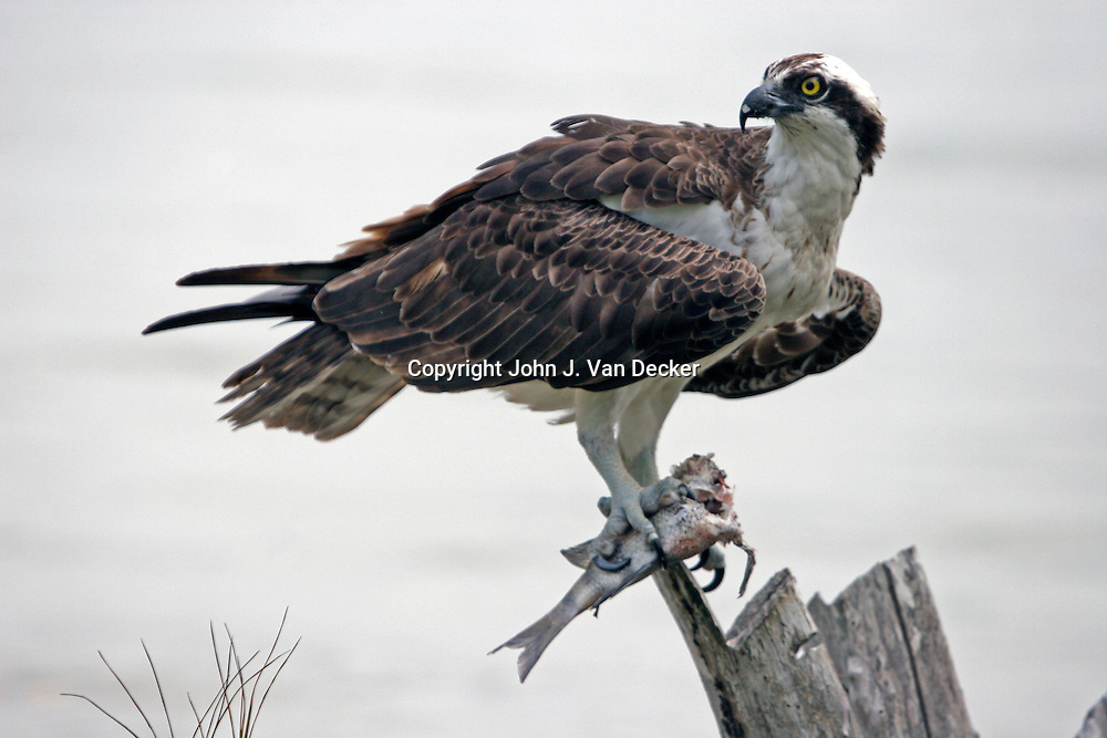 Osprey with fish standing on driftwood looking back......Osprey populations declined drastically in the 1950's and 1960's largely due to the widespread use of the pesticide DDT which caused the shells of Osprey eggs to be thin and weak. The Osprey diet is almost entirely of fish and pesticides such as DDT had migrated into the waterways. With the ban of DDT in the 1970's by many countries, the Osprey has rebounded significantly.....In mating/breeding season, the male Osprey will eat the head of a captured fish and save the fillets for the female and chicks.
