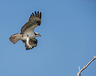 Osprey in flight, feet down in preparation for landing